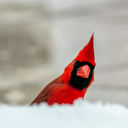 Snow Birds 2020
