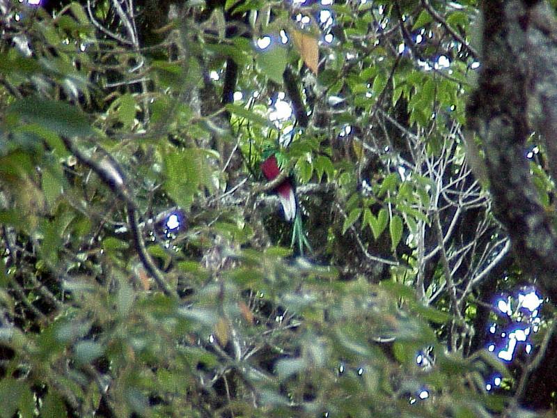 Resplendant Quetzal male 3 at Savegre Mountain Lodge Costa Rica 2-14-03 (50898235)