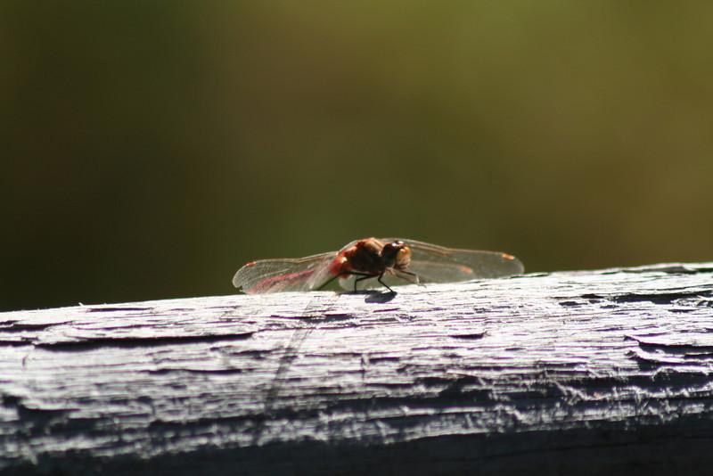 dragonfly _8649.jpg