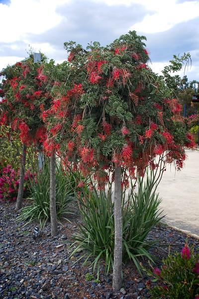 Cranbourne Garden - Grevillea bipinnatifida