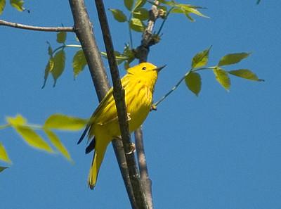 Warbler - Yellow