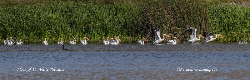 _DSC2560Flock 15 White Pelicans.jpg