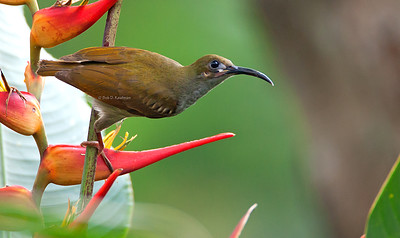 Arachnothera clarae - Naked-faced Spiderhunter