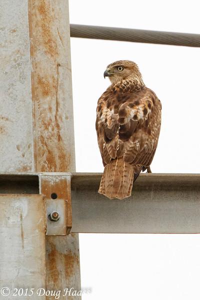 Juvenile Red-tailed Hawk Buteo jamaicensis