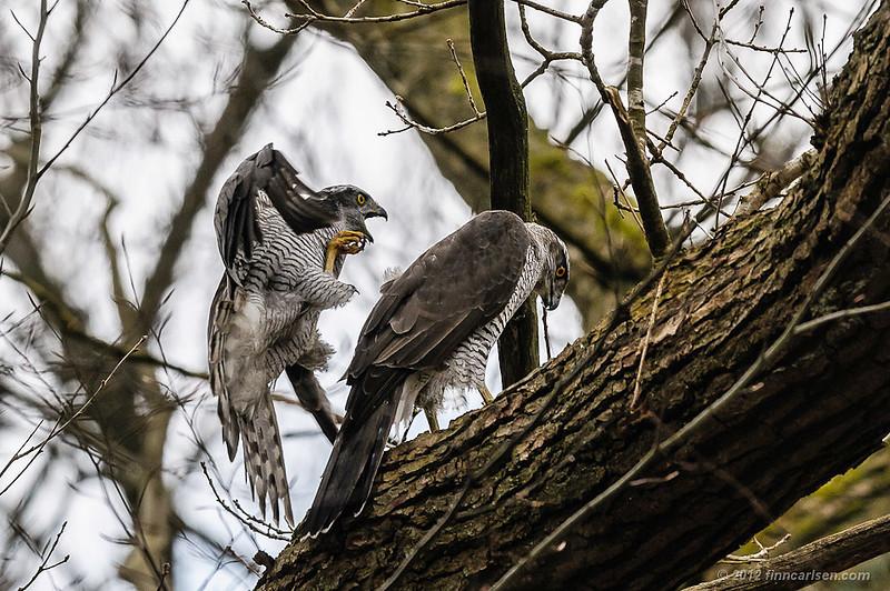 Duehøg (Accipiter gentilis - Northern Goshawk), i parring, Nordsjælland - april 2012
