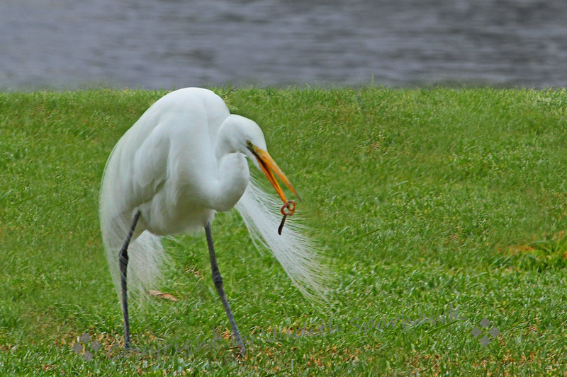 Early Bird Gets the Worm ~ Yes, this is an earthworm caught by this Great Egret after a rainy day.  He caught many of them while I watched, grabbing them from the wet grass, then sort of tossing them up into his bill to swallow them.