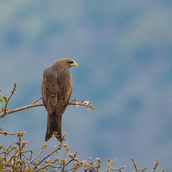 Black Kite - Ngorongoro Crater, Tanzania