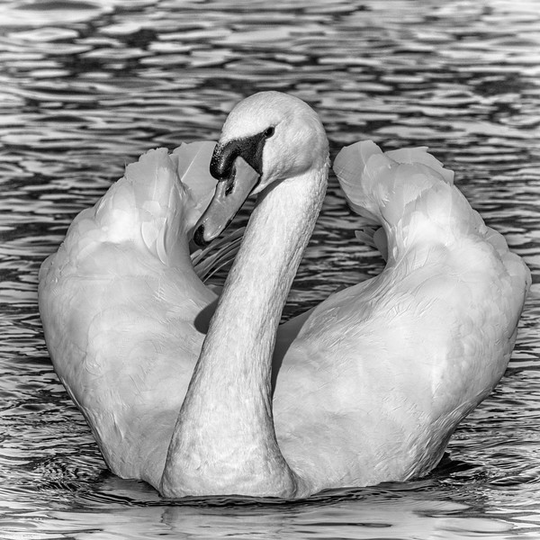 Swan in Monochrome