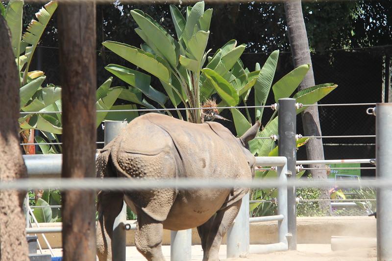 20170807-057 - San Diego Zoo - Rhinoceros.JPG