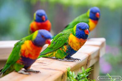 Rainbow Lorikeets - 131104