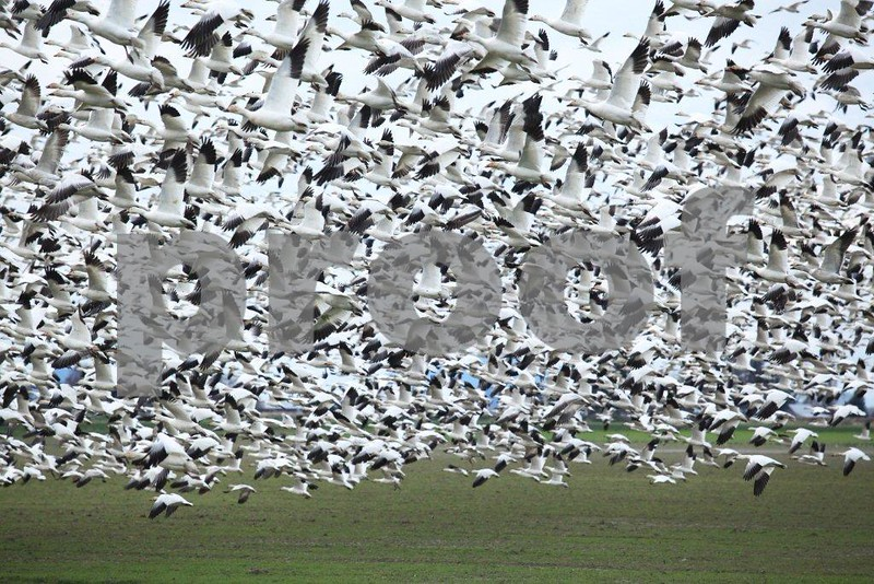 Snow geese 3024.jpg