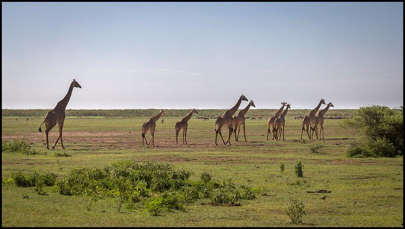 Giraffe herd, Lake Manyara NP