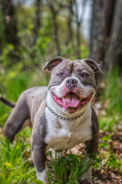 American Bull Dog Fundraiser (ABRO)