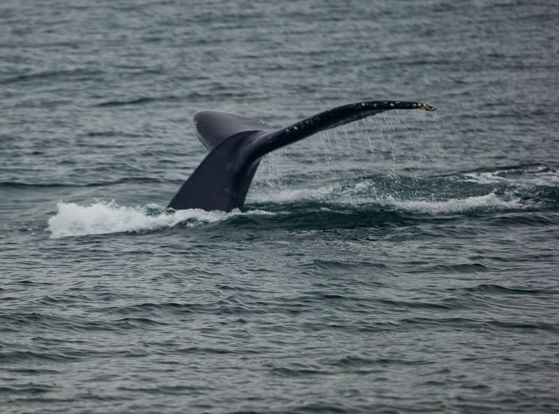 Humpback whales 8-2018