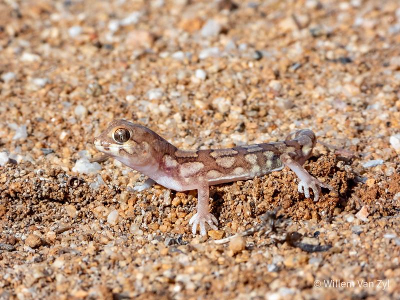 20200523 Namaqua Banded Gecko (Pachydactylus amoenus) from Springbok, Northern Cape