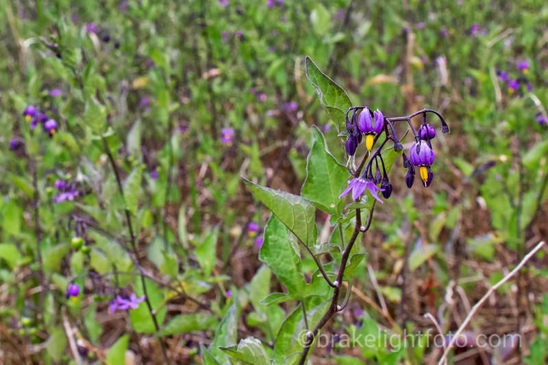 European Bittersweet - Solanum dulcamara