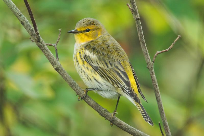 cape may warbler at the celery bog