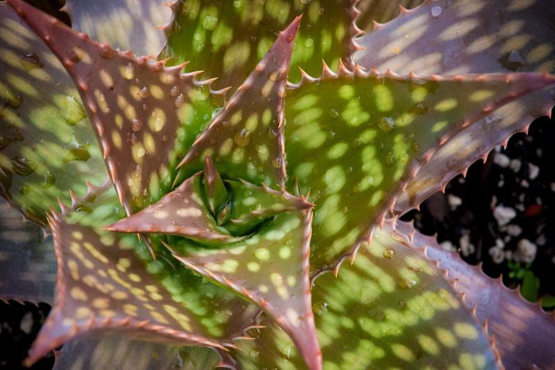 Aloe maculata