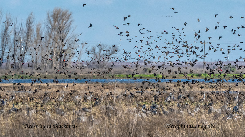 _DSC6643Red-winged Blackbirds.jpg