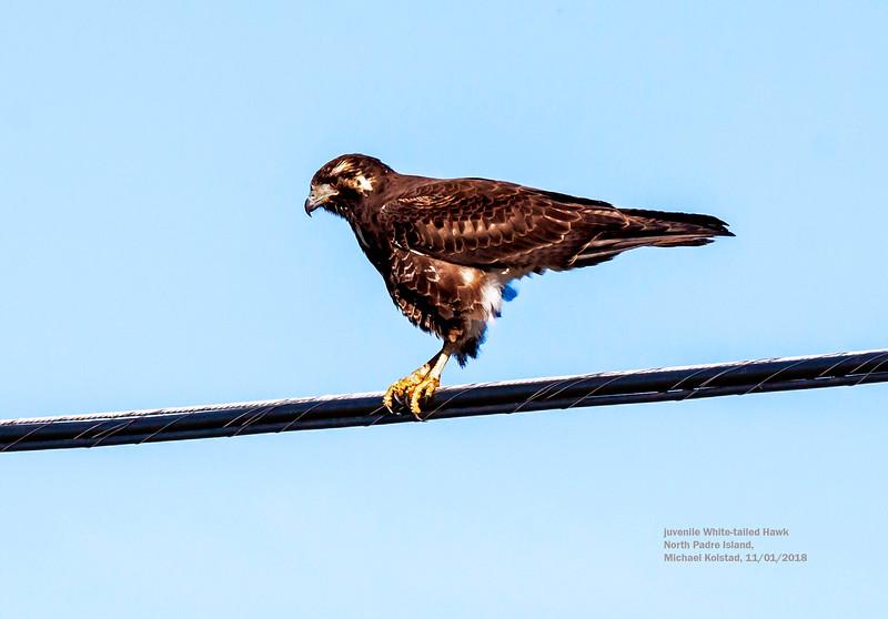 IMG_8839 3T juv White-tailed Hawk N Padre Island TX.jpg
