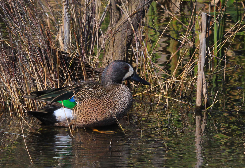 Blue-winged Teal duck.