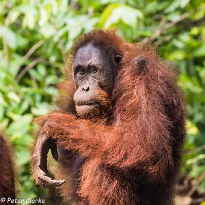Borneo 1 Kinabalu Park- Sepilok