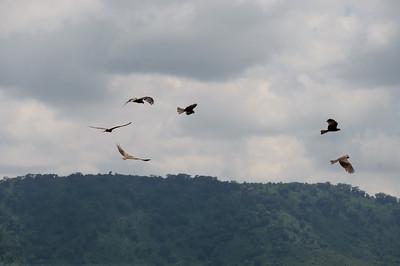 Kite, Black (spp. aegyptius)