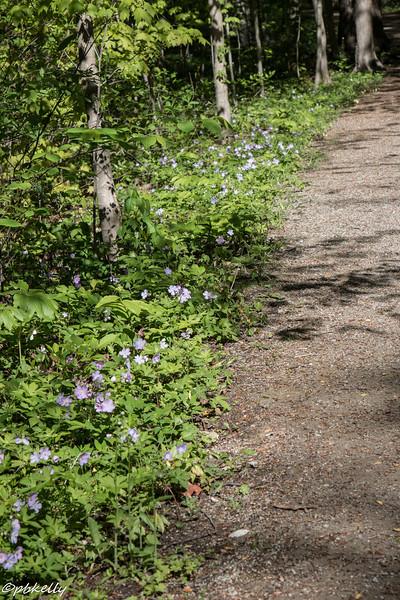 wild geraniums 051616-2.jpg
