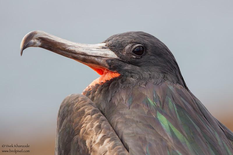 Great Frigatebird - Male - Darwin Bay, Isla Genovesa, Galapagos, Ecuador