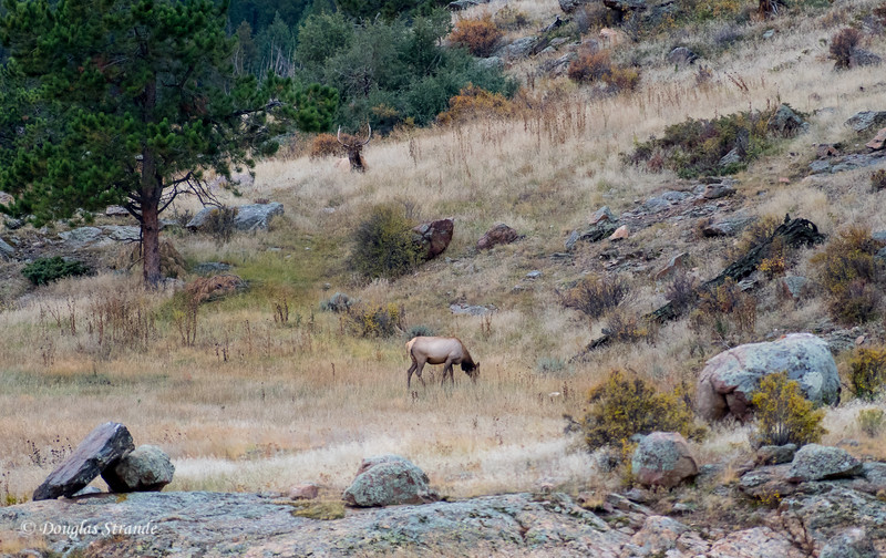 Bull Elk Protecting Grazing Female