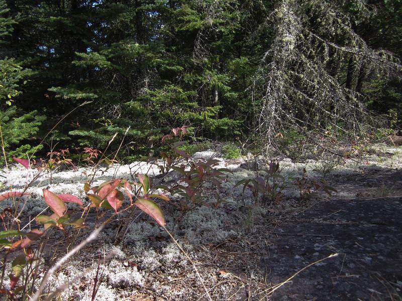 Forest o' lichen