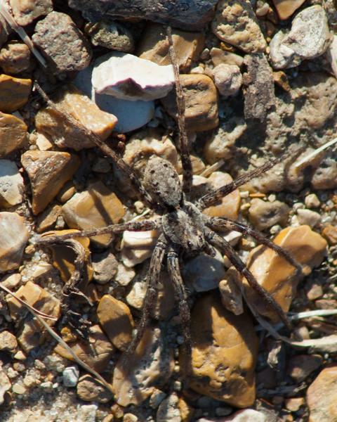 Spider - Wolf Spider? 9952