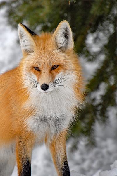 015.Marc Auth.1.Red Fox.AS.jpg