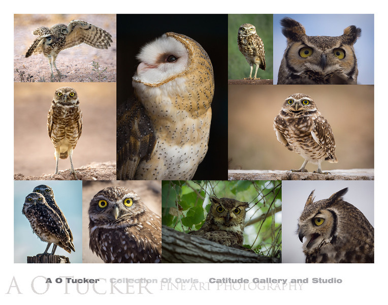 Collection Of Owls I
