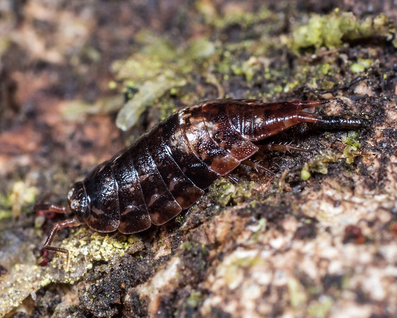 Styloniscus thomsoni