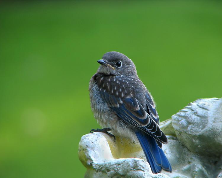 bluebird_fledgling_4584.jpg