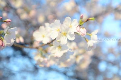2016 Cherry Blossoms - Washington, DC