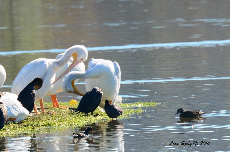White Pelicans, Female Wood Duck, Double-crested Cormorants - 12/29/2014 - Lindo Lakes