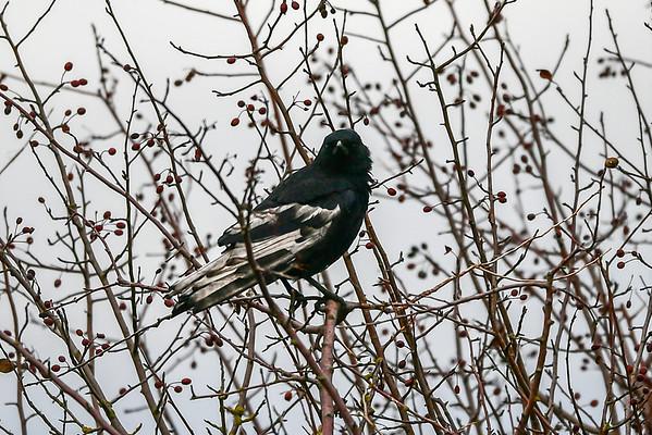 11-19-16 Leucistic Crow RBS