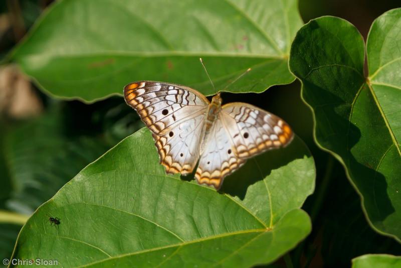 Butterfly species at Juan Guerra, Tarapoto, Peru (07-04-2010)-75.jpg