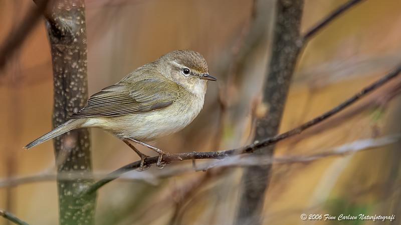Gransanger (Phylloscopus trochilus - Willow warbler)