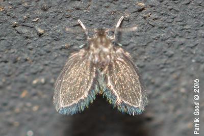 Various Moth Flies