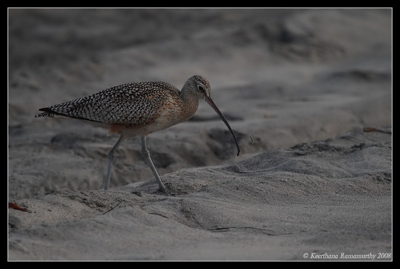 Long Billed Curlew, Tijuana River Estuary, San Diego County, California, December 2008