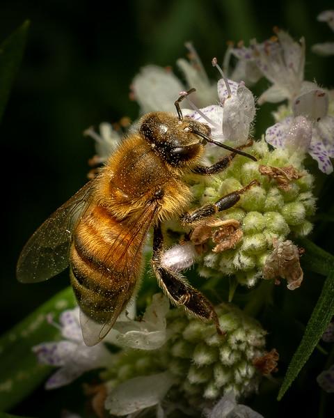 Honeybee - 7-26-18.jpg