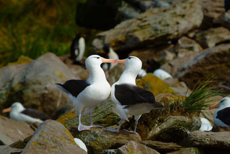AlbatrossKissing0859ver2LowRes.jpg