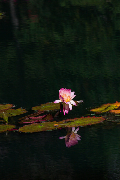 Sacred Lotus water lily
