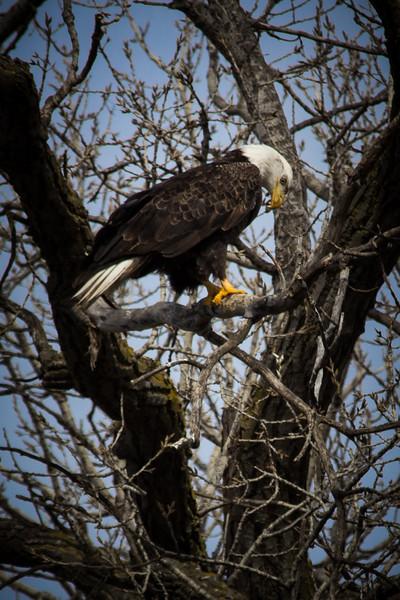 Eagle sitting-7037.jpg