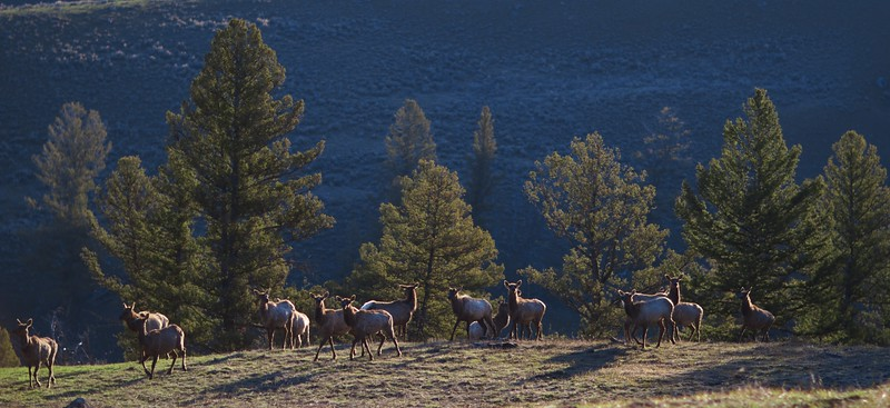Elk herd frosty morning Mammoth to Tower Junction Yellowstone National Park WY IMG_8230.jpg