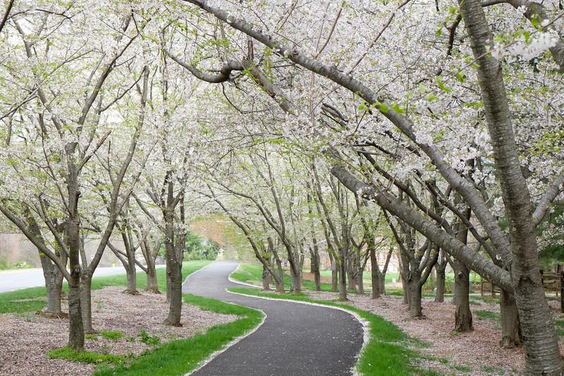 20160331 033 cherry blossoms-2.jpg