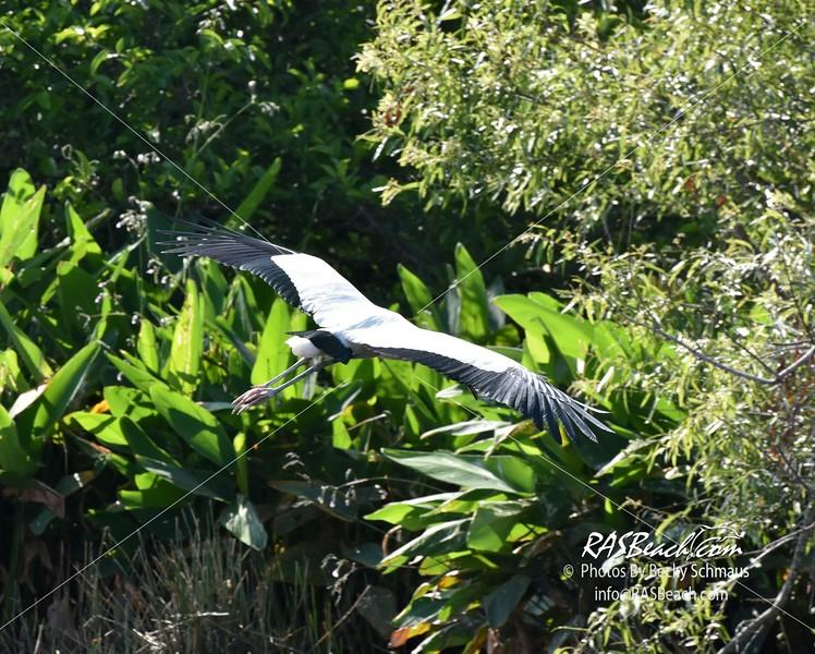 Wood Stork in the Wakodahatchee Wetlands, Palm Beach County, Florida